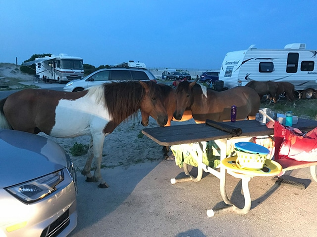 Assateague, MD horse invasion.