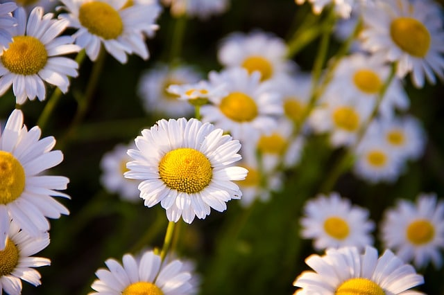 Flowers for Healing | Chamomile